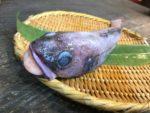 沼津港 かもめ丸 深海魚 どんこ エゾイソアイナメ