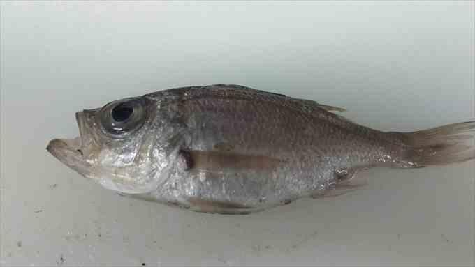 沼津港 深海魚 入荷 魚市場 アジ マグロ
